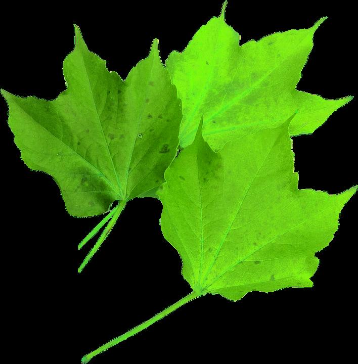 Maple Leaf Green, Isolated, Nature, Translucent