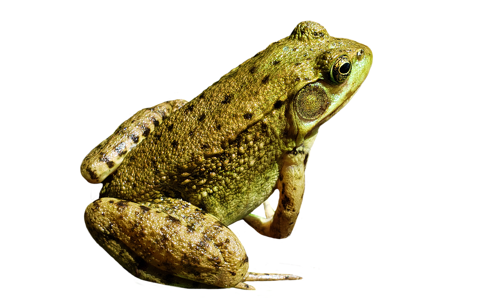 Frog, Animal, Nature, No Background, Transparent