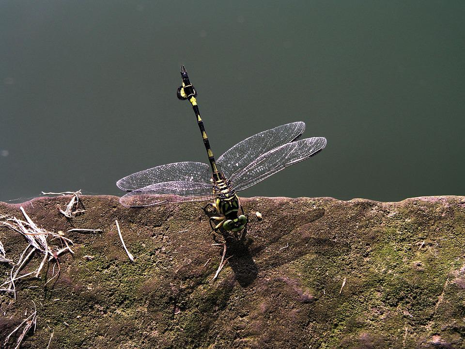 Dragonfly, China, Transparent, Green