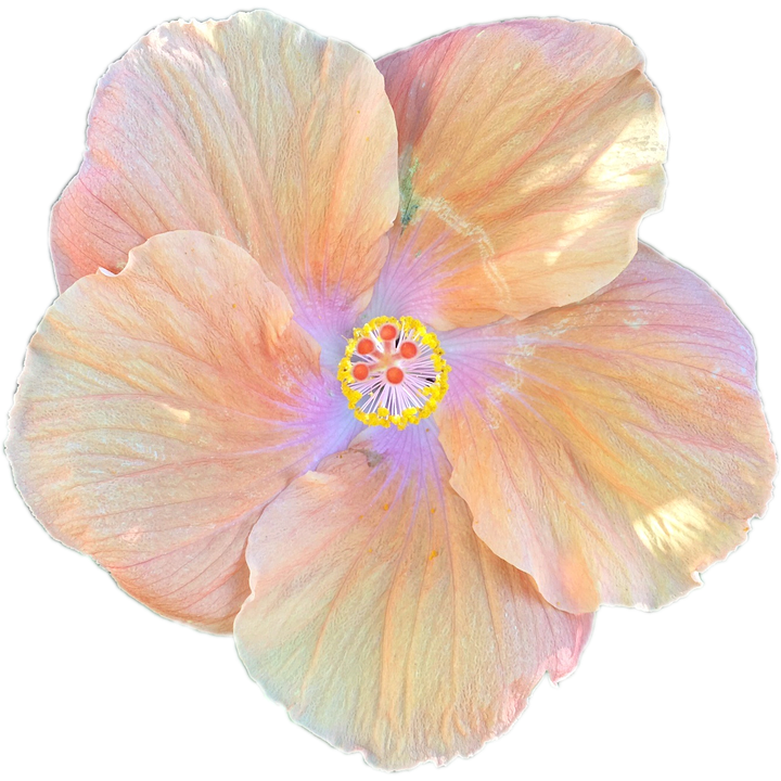 Flower, Blossom, Bloom, Hibiscus, Isolated, Transparent