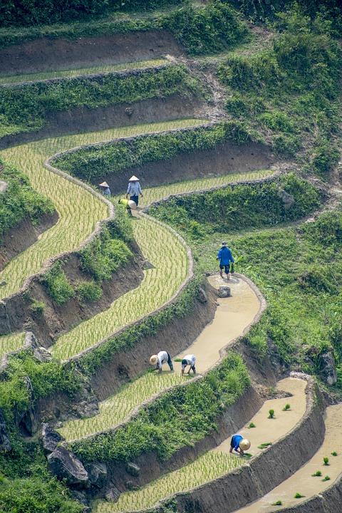 Transplanting Rice, Rice Field, Rice, Vietnam, Farm