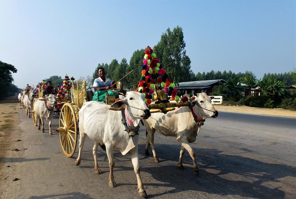 Transport, Burma, Religion Char Oxen, Golden, People