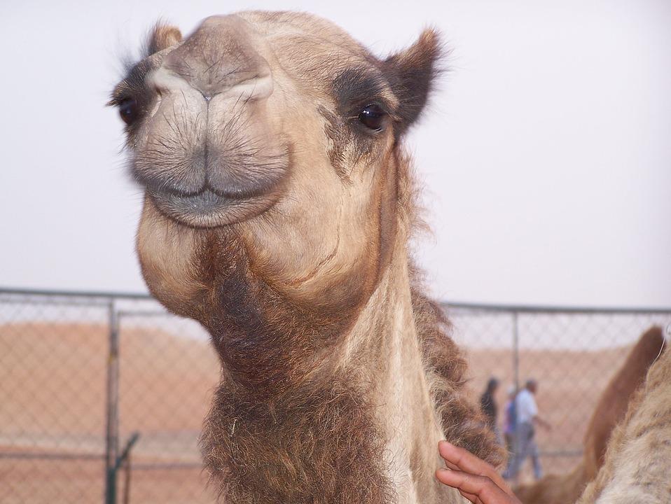 Camel, Desert, Transportation, Dubai
