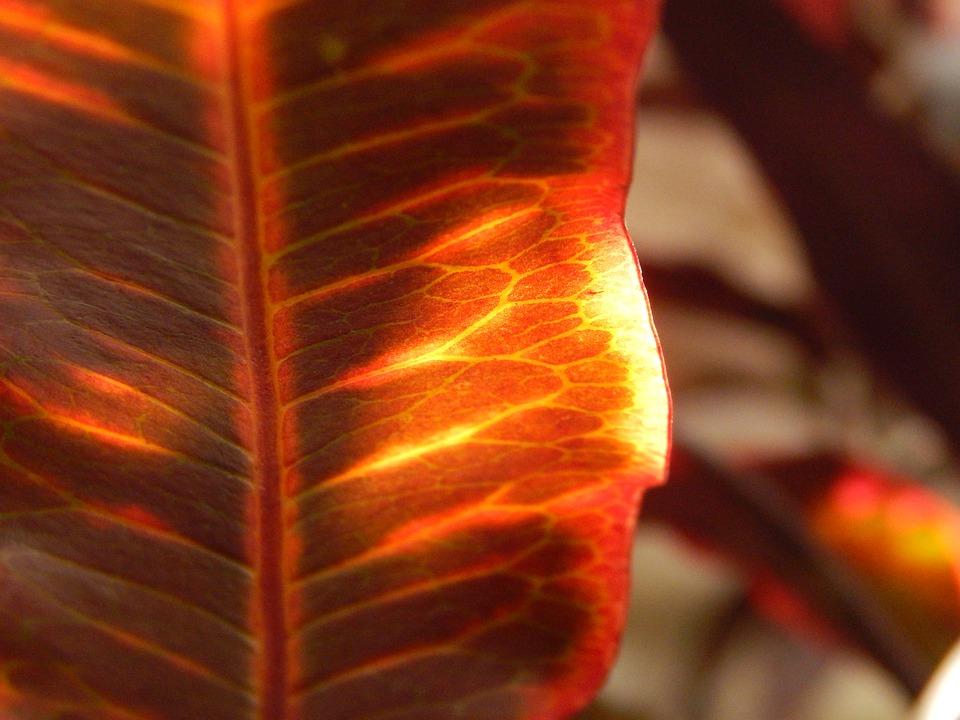 Red Leaf, Trasluz, Autumn, Leaf