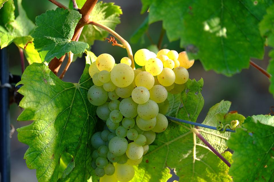 Grapes, White Grapes, Traubenpergel, Wine, Fruit, Vine