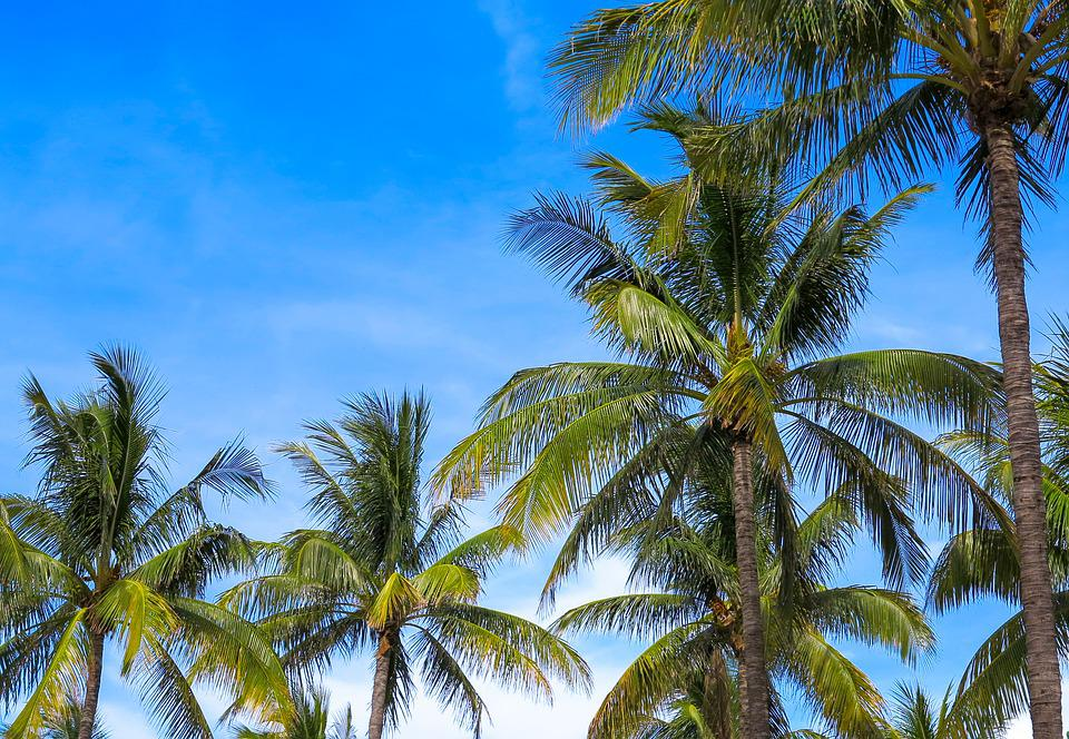 Arecaceae, Coconut, The Tropical, Beach, Treatment