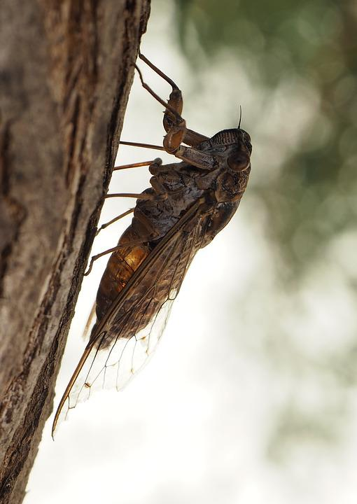 Cicada, Insect, Close, Tree, According To, Quiet