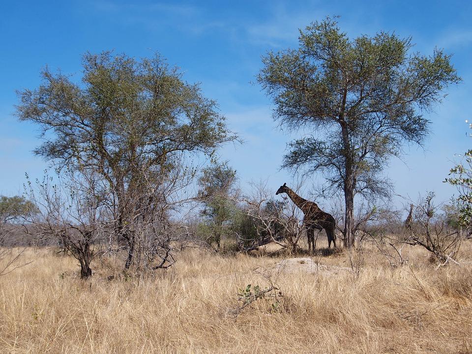 Africa, South Africa, Tree, Safari, National Park
