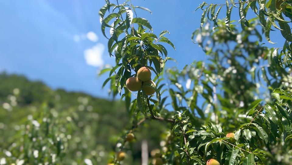Fruit, Nature, Leaf, Agriculture, Flora, Tree, Summer