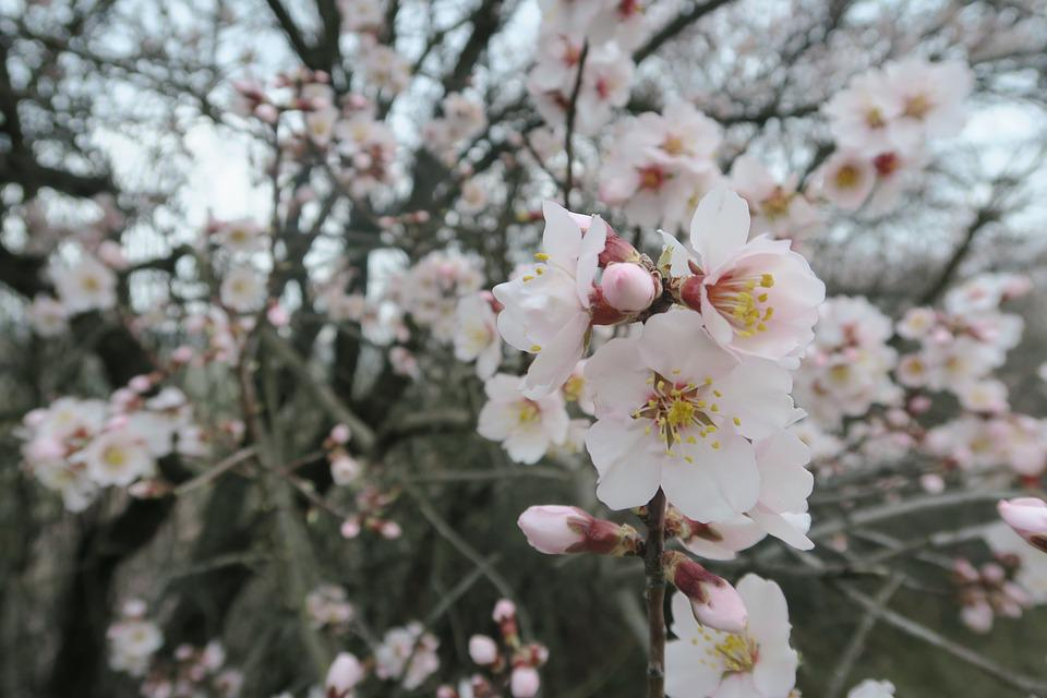 Flower, Almond, Tree, Plant