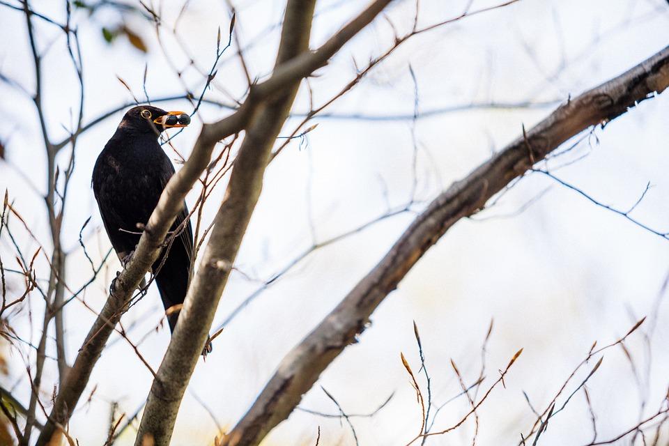 Blackbird, Tree, Bird, Nature, Wildlife, Animal, Black