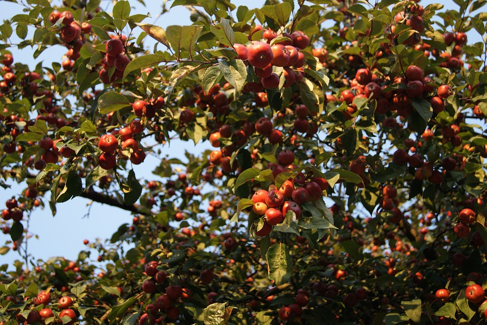 Apples Tree Fruiting Fruit Nature