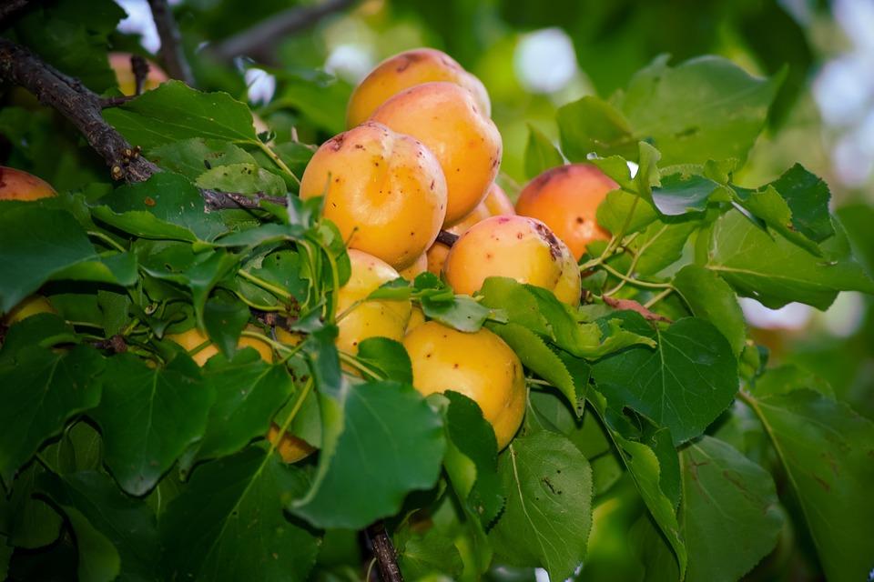 Apricots, Tree, Green Leaves, Kashmiri Apricots