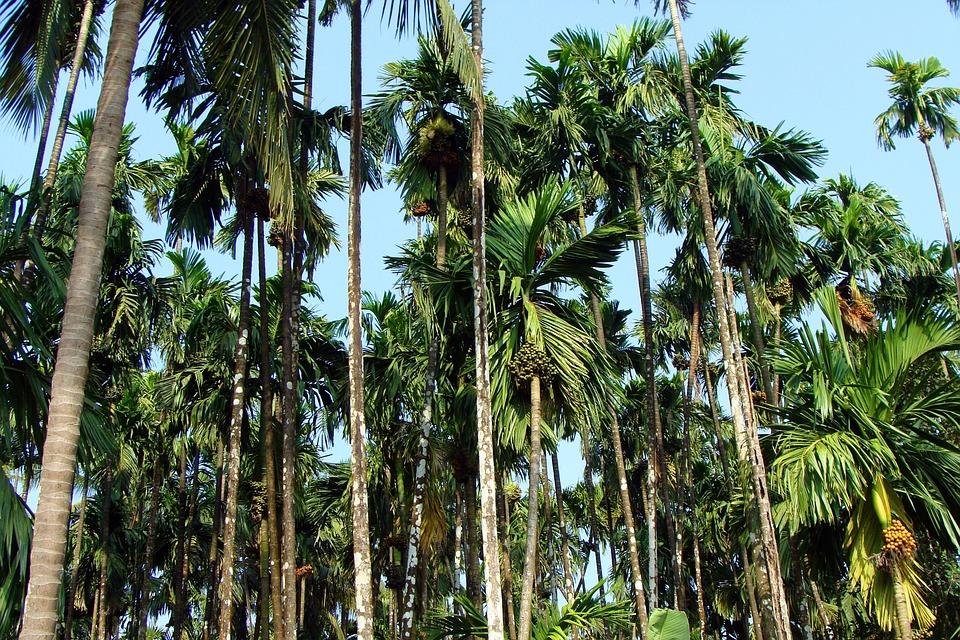 Arecanut Plantation, Uttar Kannada, India, Tree