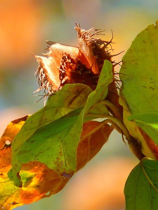 Beechnut, Tree, Beech, Autumn