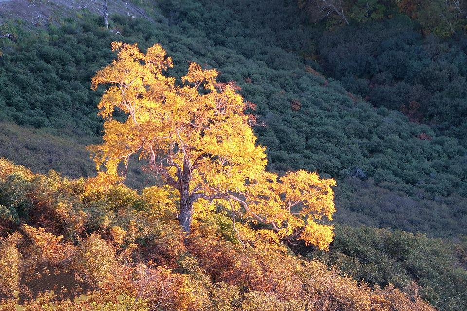 Autumn, Birch, Tree, Mountains, Forest, Fall Colors