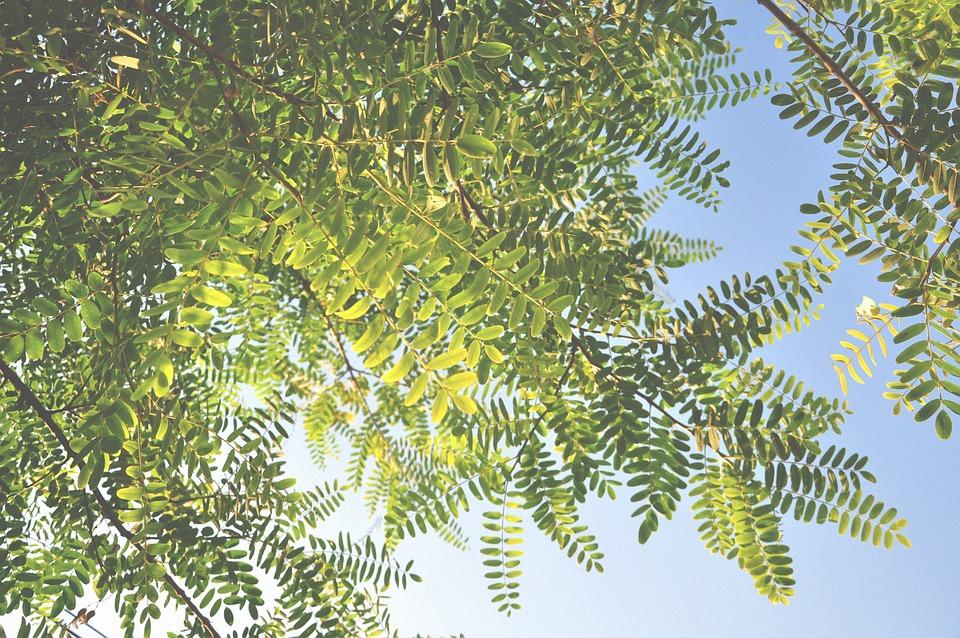 Autumn Leaves, Blue Sky, Evergreen, Nature, Tree
