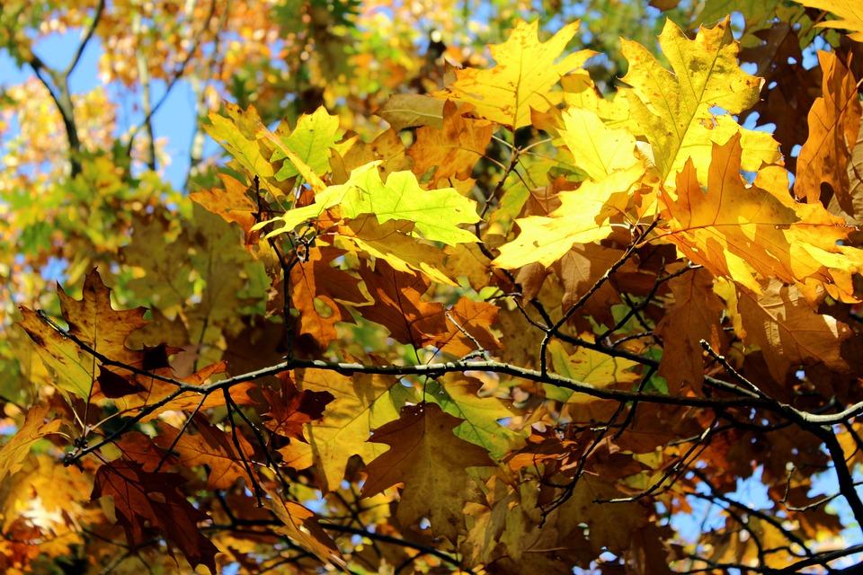 Leaf, Autumn, Season, Maple, Tree, Bright, Nature
