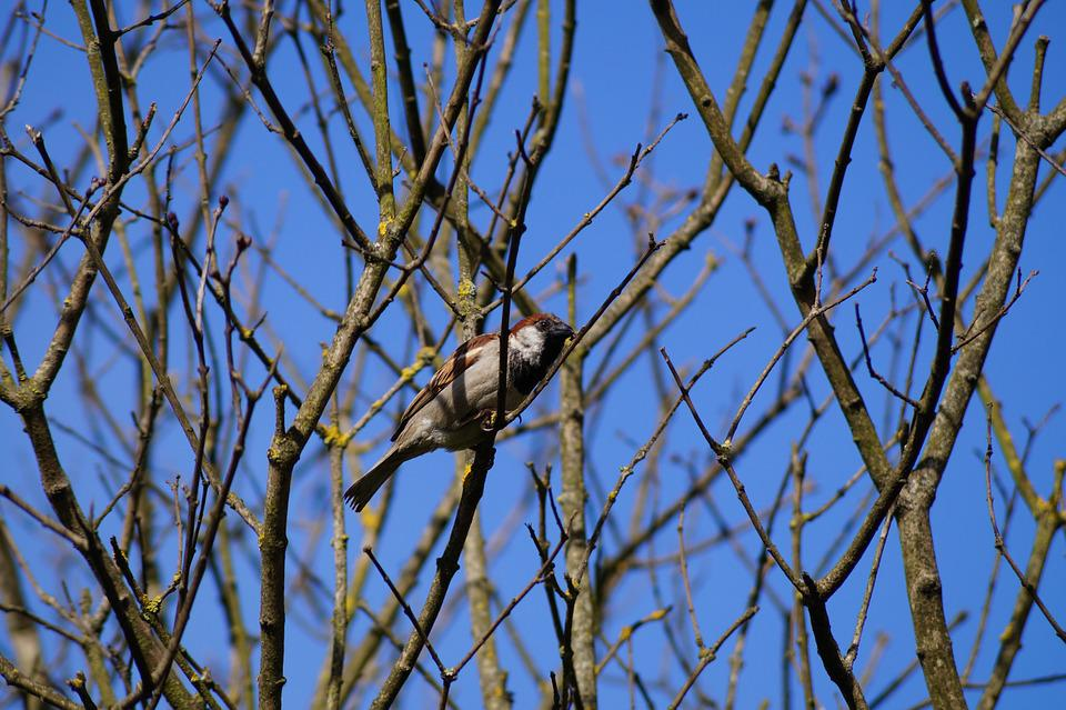 Sparrow, Autumn, Ave, Chincol, Chile, Tree