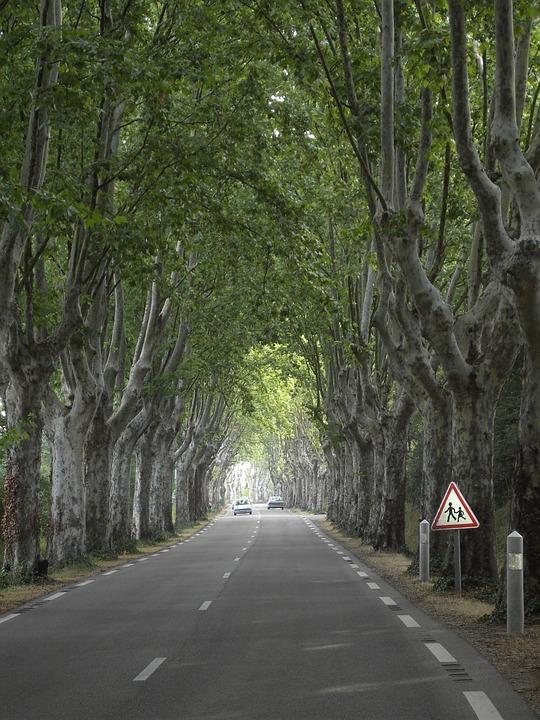 Plane Trees, Tree, Avenue, Wood, Nature, Road