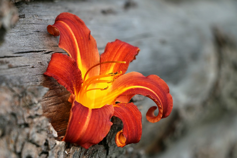 Fire Lily Flower The Most Beautiful Flower 2018
