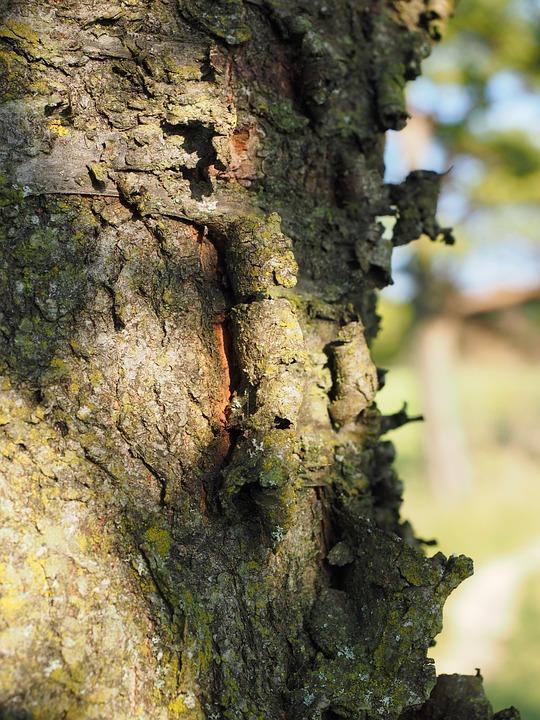 Ringelborke, Bark, Cherry, Cherry Bark, Tree Bark, Log