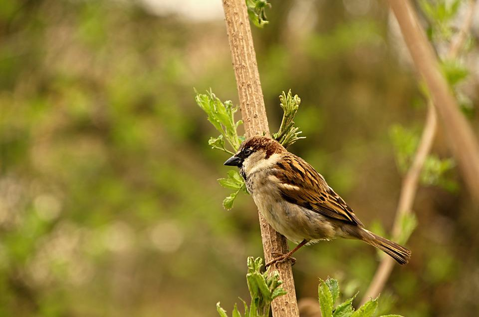 Sparrow, Bird, Birds, Tree, Russet, Sparrows, Beak