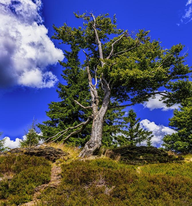 Tree, Beech, Nature, Log, Mood, Leaves, Overgrown