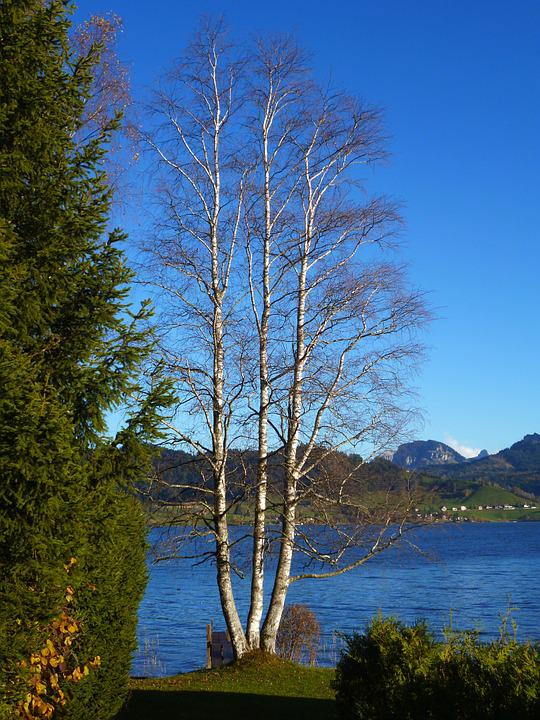 Birch, Lake, Autumn, Tree, Landscape