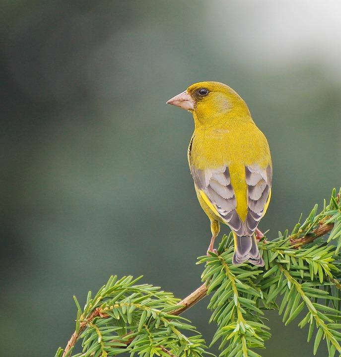 Bird, Animal, Yellow, Nature, Tree