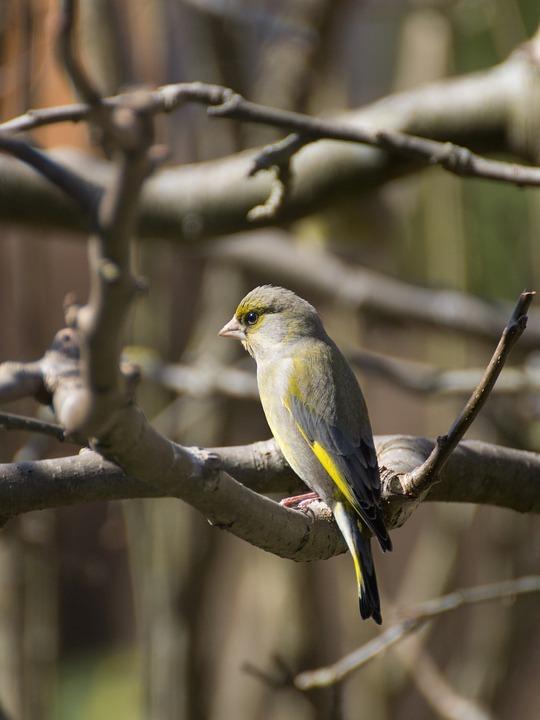Greenfinch, Bird, Tree, Animal, Songbird, Feather