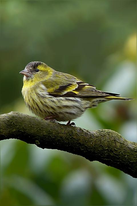Cape Canary, Serinus, Bird, Male, Tree, Garden