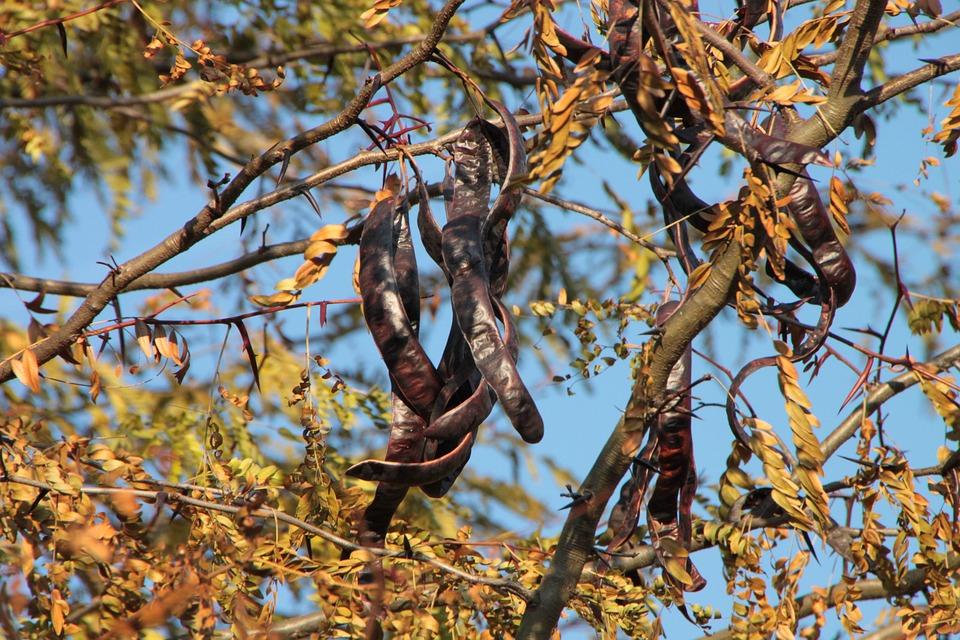 Black, Carob, Ceratonia, Siliqua, Tree, Fruit