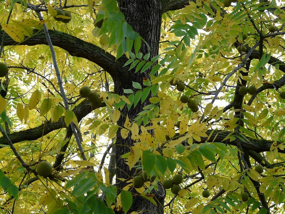 Black Walnut, Tree, Park Tree, Juglans Nigra