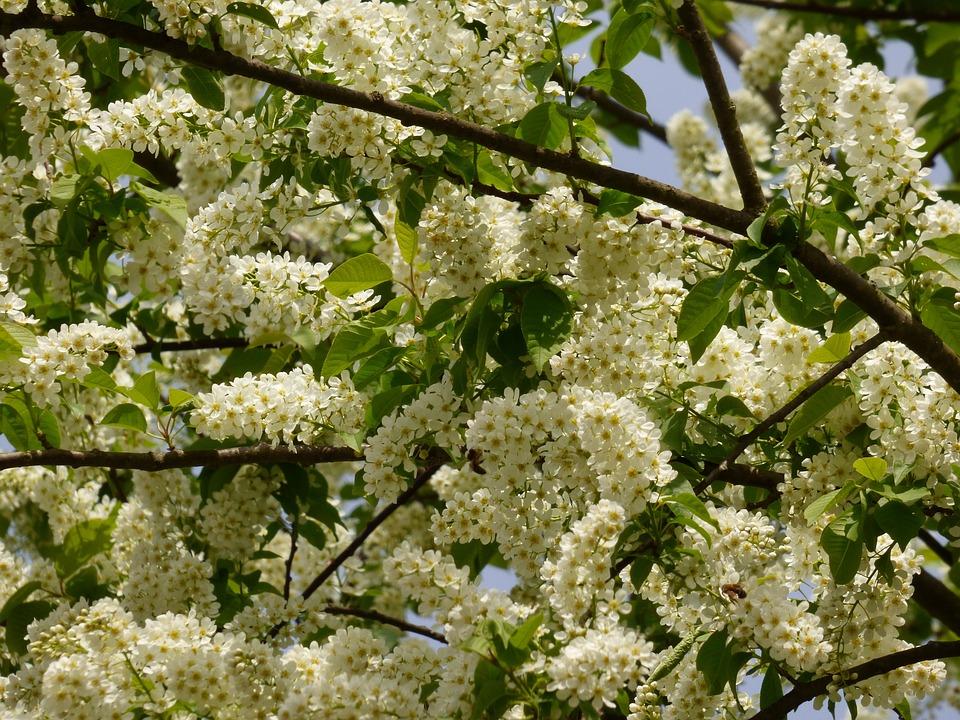 Tree, Flowers, Blooming Tree, Spring Flower