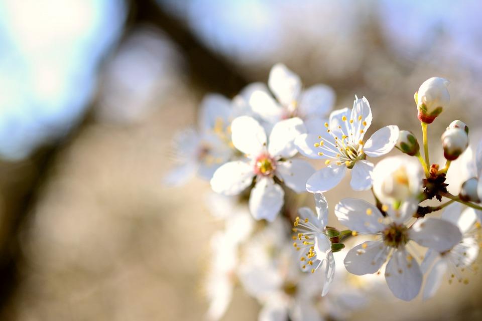 Tree Blossoms, White Flowers, Spring, Bloom, White