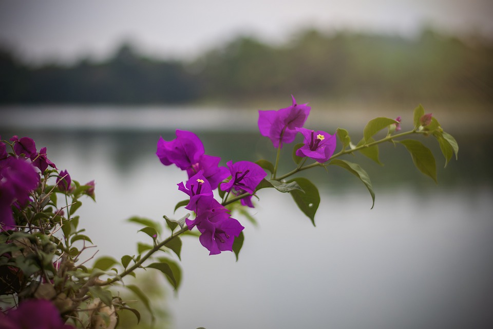 Bougainvillea, Tree, Flowers, Branches, Pink Flowers