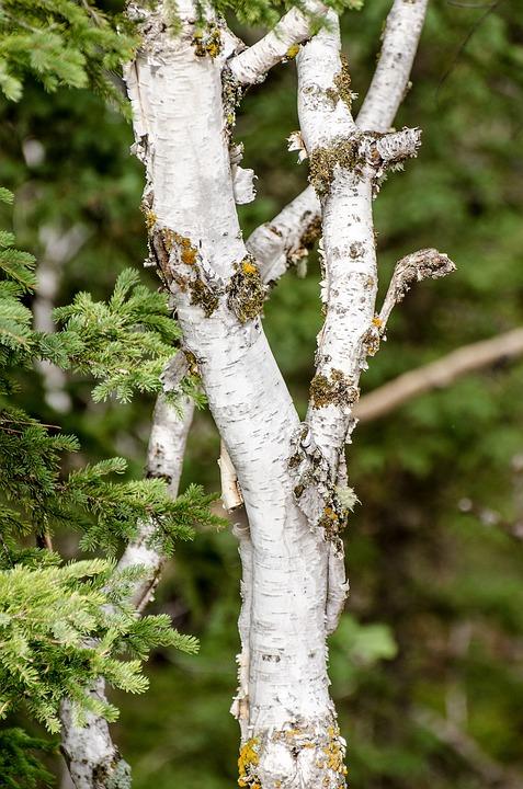 Birch Tree, Green, Branch, Tree Branch, Branches