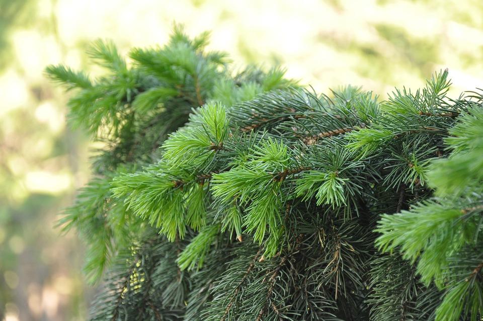 Spruce, Branch, Coniferous, Needles, Tree, Greens