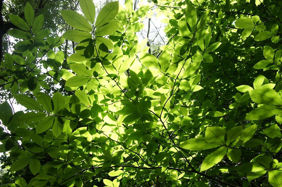 Leaves, Nature, Trees, Branch, Green, Tree