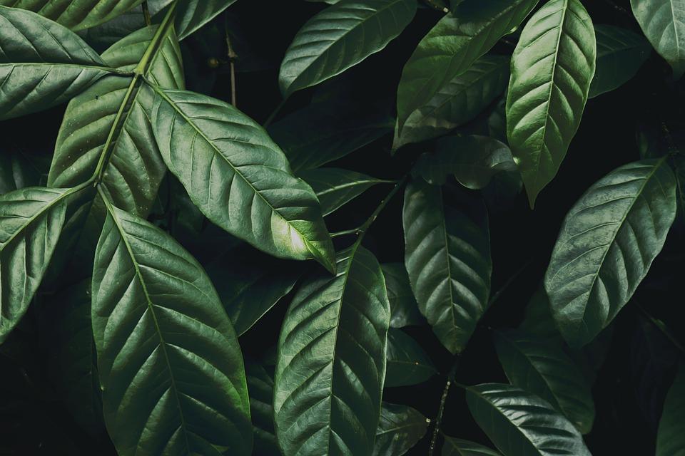 Dark Green Plant, Green Leaves, Nature, Tree, Branch