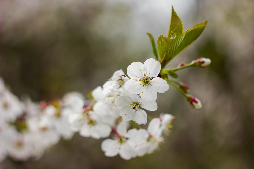 Tree, Branch, Flowers, Cherry, Spring, Bloom, Bud