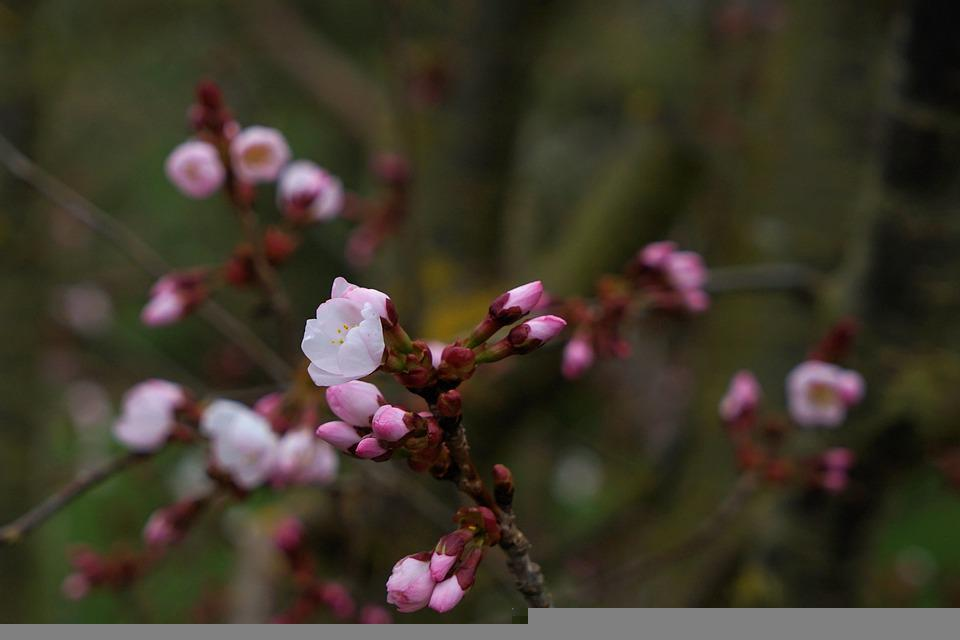 Cherry Blossoms, Flowers, Buds, Tree, Branches
