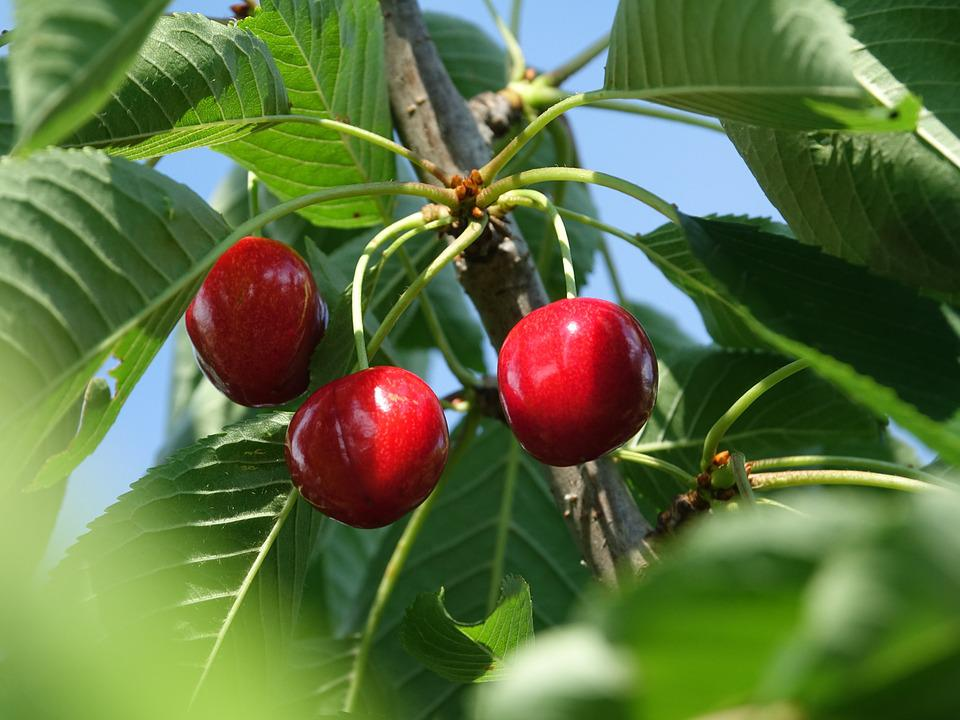 Cherries, Fruits, Summer, Red Fruits, Tree Brench