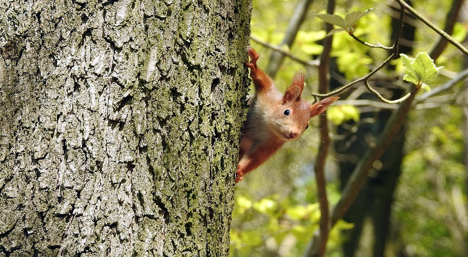 Squirrel, Rodent, Rodents, Tail, Mammal, Tree, Brown