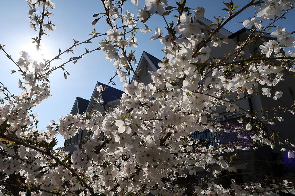 Free Photo Tree Cherry Blossom Anese White Max Pixel