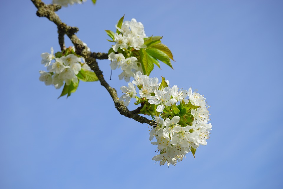 Cherry Blossom, Branch, White, Flowers, Tree