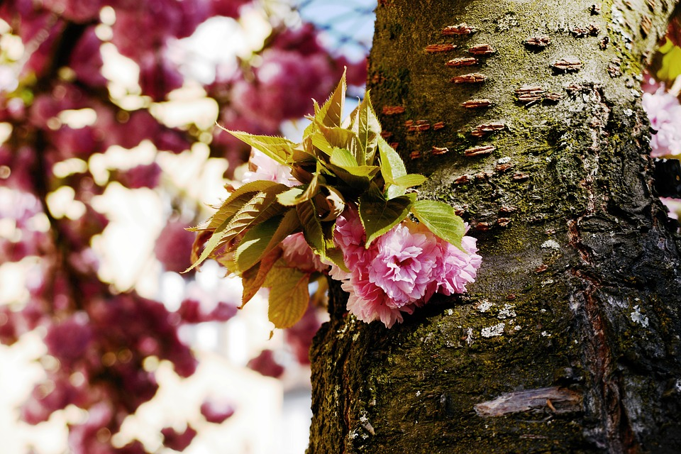 Cherry Blossoms, Japanese Cherry Blossoms, Tree