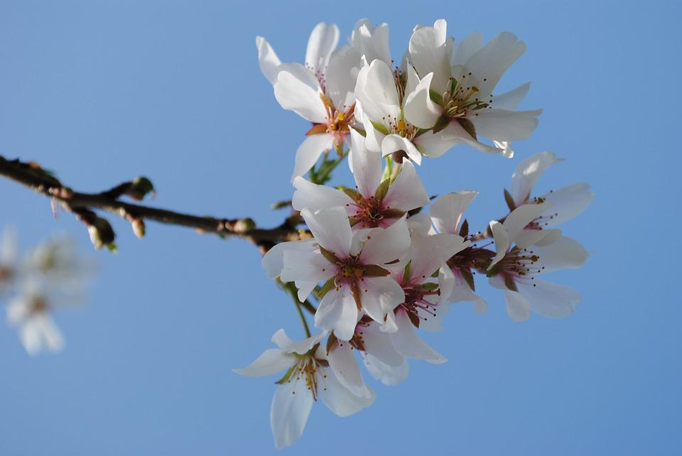 Tree, Cherry, Branch, Spring, Flowers