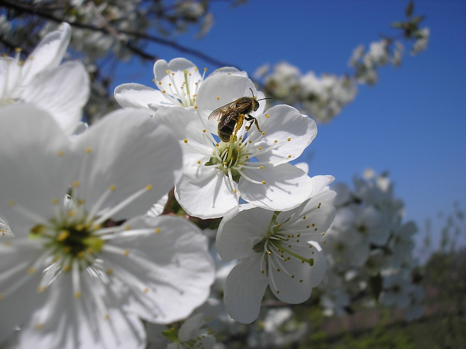 Cherry, Bee, Spring, Flower, Tree, Nature